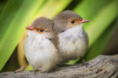 I've got your back - A pair of juvenile female superb fairywrens on the lookout