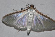 https://flic.kr/p/pV2taV | ecosystem/fauna/Crambid Moth(Cydalima laticostalis)? | Ambyvalley rd.,Lonavala,Mah.,India  or Palpita vitrealis?