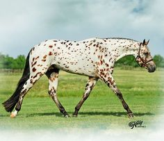 Spot My Blue Boy.  A fantastic show horse