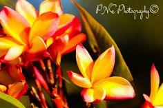 Frangipani Pink #photo #photography #photoart #photoblog #ThePhotoHour #PNEPhotography #flowers #flowerphotography #frangipani
