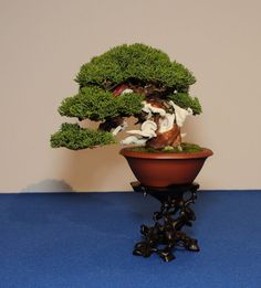 This little Shimpaku displays a near perfect mix of wild and refined.