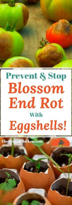 Got extra eggshells? Here's how you can use them in your tomato garden to prevent and treat blossom end rot!