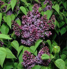 Syringa Vulgaris, Planting Flowers, Lilacs, Plants, Lilac, Plant, Planets, Lilac Tree