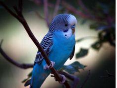 kobaltblauwe grasparkiet