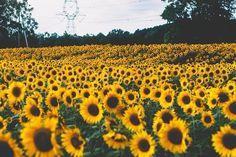I need to go to a sunflower field asappic.twitter.com/t8Kzoj5aQN