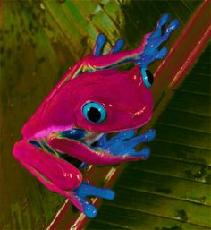 Blue Eyed Tree Frog by 75frogger on DeviantArt
