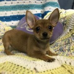 Kijiji - Buy, Sell & Save with Canada's Local Classifieds Paper Train, Chihuahuas, Humane Society, Dogs And Puppies, Corgi, Adoption, Pets, Animals, Foster Care Adoption