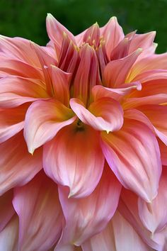 ~~Pastel ~ Dahlia by Margaret Barry~~