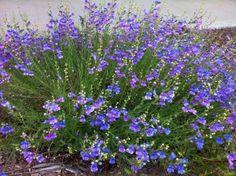 foothill penstemon - Penstemon heterophyllus 'Margarita B.O.P.'