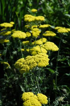 Moonshine Yarrow has large yellow flowers all summer on a fine textured plant.