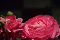 ranuncoli rosa # B&B Cà Bianca dell'Abbadessa # pink flowers # www.cabiancadellabbadessa.it