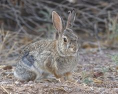 Desert Cottontail At Bosque del Apache | Steve Creek Outdoors