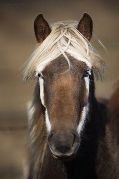 Icelandic horse by Gigja Einarsdottir All The Pretty Horses, Beautiful Horses, Animals Beautiful, Horse Photos, Horse Pictures, Animals And Pets, Cute Animals, Horse Markings, Icelandic Horse