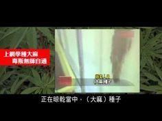 2012榮耀盼望 Vol.197屋內種植大麻 - YouTube