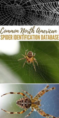 Common North American Spider Identification Database Hobo Spider, Spider Identification, Brown Recluse, Animals Information, Toddler Girl Outfits, Toddler Boys, Outdoor Crafts, Disaster Preparedness, North America