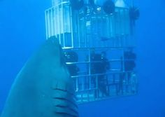 'Biggest great white shark ever filmed' surfaces in newly released video Read more at http://www.grindtv.com/wildlife/biggest-great-white-shark-ever-filmed-surfaces-in-newly-released-video/#Ph5L7c5md7S7YqMP.99  -  nature, animal, shark, ocean.  photos and video of deep blue in the ocean around mexico.  awesome, amazing and terrifying!   lj
