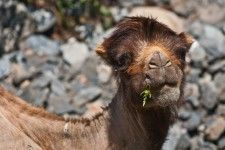 Afghan camel in Pamir Mountains.
