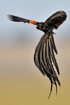 waasabi:      Long-tailed Widowbird – during flight display by Eric Landsberg Wildlife Photography