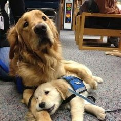 Golden retrievers! #Dogs