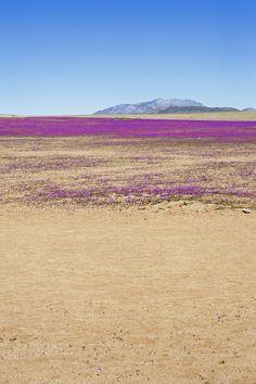 Atacama Desert in Bloom,  Chile