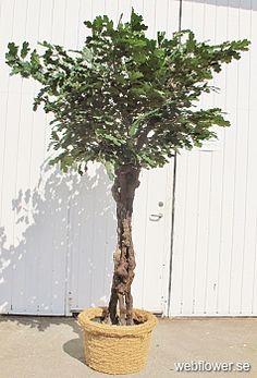 Ekträd med Grapewood-stam 240cm