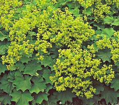 shade plant - lady's mantle
