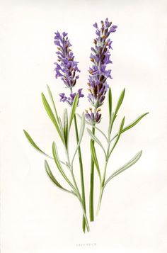 botanical drawings - Google Search