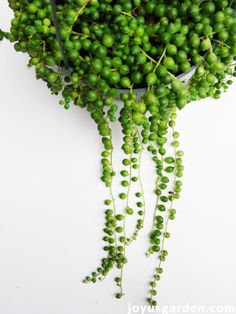 10 Reasons Why You May Be Having Problems Growing A String Of Pearls Plant Indoors. Many struggle with growing String Of Pearls as a houseplant. Here are 10 reasons why you could be having problems growing a String Of Pearls plant indoors. We want you to be able to grow this fascinating succulent successfully. #stringofpearls #houseplants #gardeningtips #succulents