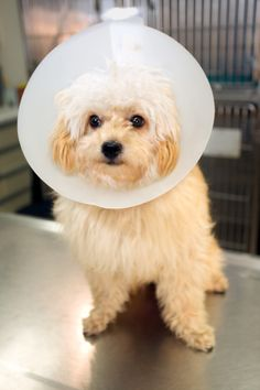 If your dog is recovering from surgery and you want to prevent him from licking the incision, or if your dog has a hot spot on his neck that he cannot keep from scratching, you may need to invest in an Elizabethan collar.