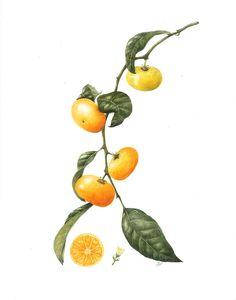 citrus reticulata - Google Search