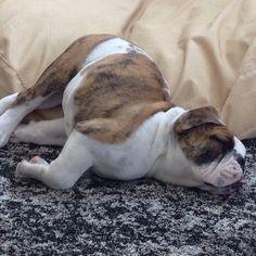 The most epic puppy nap. EVER. #RoverSitterPic #EnglishBulldog #EnglishBulldogPuppy #Puppy #BulldogPuppy #Bulldog