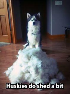 Siberian Huskies shed a l l... y e a r... l o n g...  the fur is always flying.