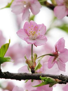 Prunus Lannesiana