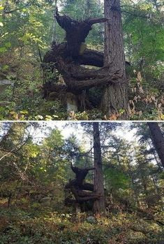 Troll looking tree growth Fast Crazy Nature Deals. Creepy, Scary, Weird Trees, Night Forest, Forest Light, Unique Trees, Walk In The Woods, Nature Tree, Land Art