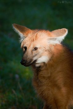 Maned wolf (Chrysocyon brachyurus) portrait