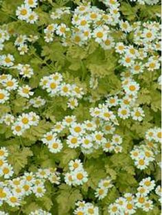Tanacetum parthenium 'Aureum' Shade Plants, Green Flowers, Shade Garden, Daisy, Seeds, Shadow Plants, Bellis Perennis, Daisies, Grains
