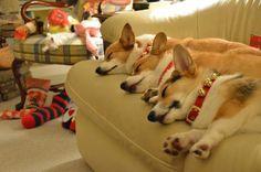 Settled down for a long winter's nap. #corgi