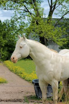 Quarter Horse stallion Starbucks Billy Bob. He is a beautiful Perlino Dun with two blue eyes <3