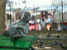 """Groundline Pigeon (Elton Jon) :-)"