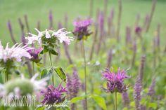Mein Garten im August. My garden in august. Monarda, Teucrium.