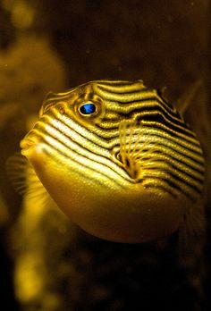 Ornate Cowfish Lets Go Diving Amazing discounts - up to off Compare prices… Underwater Creatures, Underwater Life, Ocean Creatures, Under The Ocean, Sea And Ocean, Aquariums, Beautiful Sea Creatures, Beneath The Sea, Salt Water Fish