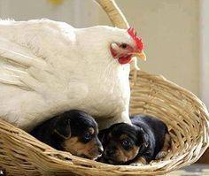 #rottweiler #puppies