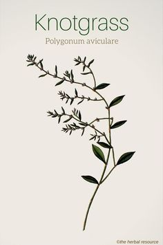knotgrass Polygonum aviculare