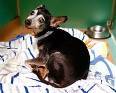 SAFE 9-8-2015 --- SUPER URGENT Manhattan Center ISABELLA – A1049485  FEMALE, BLACK / WHITE, CHIHUAHUA SH, 14 yrs STRAY – ONHOLDHERE, HOLD FOR ID Reason OWNER HOSP Intake condition GERIATRIC Intake Date 08/28/2015