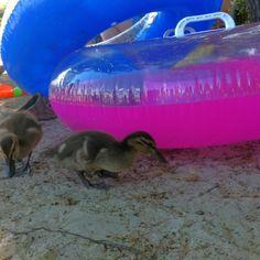 beach day in NH... Watching baby ducks was so fun!