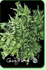 Applecourt Crested Painted Fern - Shade Perennial Hardy Fern Plant