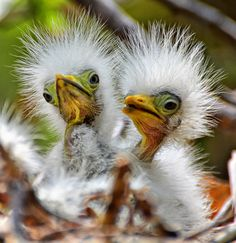Two cattle egret newborn chicks in the nest.