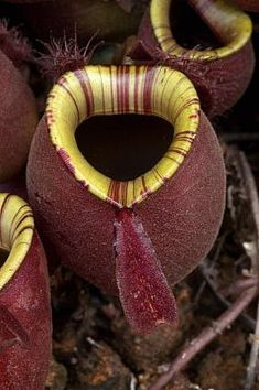 "Nepenthes ampullaria ""red giant""? Picture taken from Broneo by Robert Tsu, Sarawak"