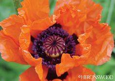 Papaver orientale 'Harvest Moon' ('Harvest Moon' oriental poppy)