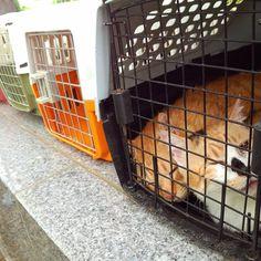 【ngo.lia】さんのInstagramをピンしています。 《本日、保護犬と、保護猫と、保護鳥の譲渡会を行っております。 LIAの活動を無料で応援していただけるサイトがございます。 http://gooddo.jp/gd/group/lia/ ページの下の方に『応援する』という赤いボタンがあります。毎日1クリックお願いします。#里親募集中 #いんこ #いんすたぐらむ #どうぶつ #チワワ #烏骨鶏 #保護施設 #わんこ #わんちゃん #にゃんだふるらいふ #にやんこ #ほご #ボランティア #ぼらんてぃあ #ながの #さつしょぶん #あいご #動物虐待Gメン #NGO #LIA  #犬 #猫 #鳥 #桜 #梅 #林檎 #殺処分 #虐待 #犯罪 #Vegan》